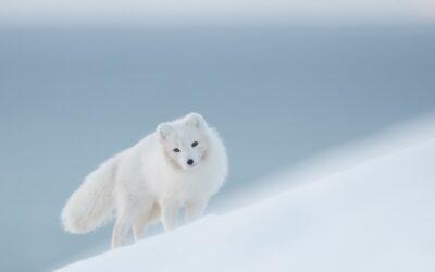 Fjällräven Arctic Fox Inicijativa 2020